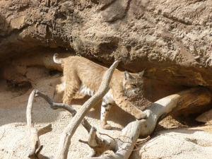 wild cats bobcats