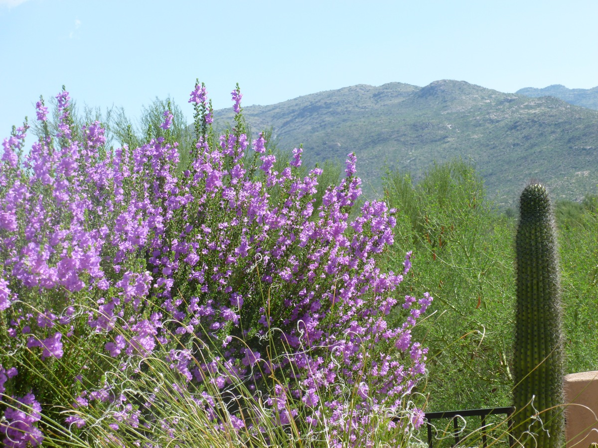 Sage bushes with Purple Flowers bring life to thedesert!