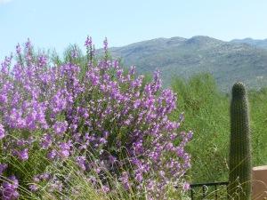 texas ranger plant sage Tucson