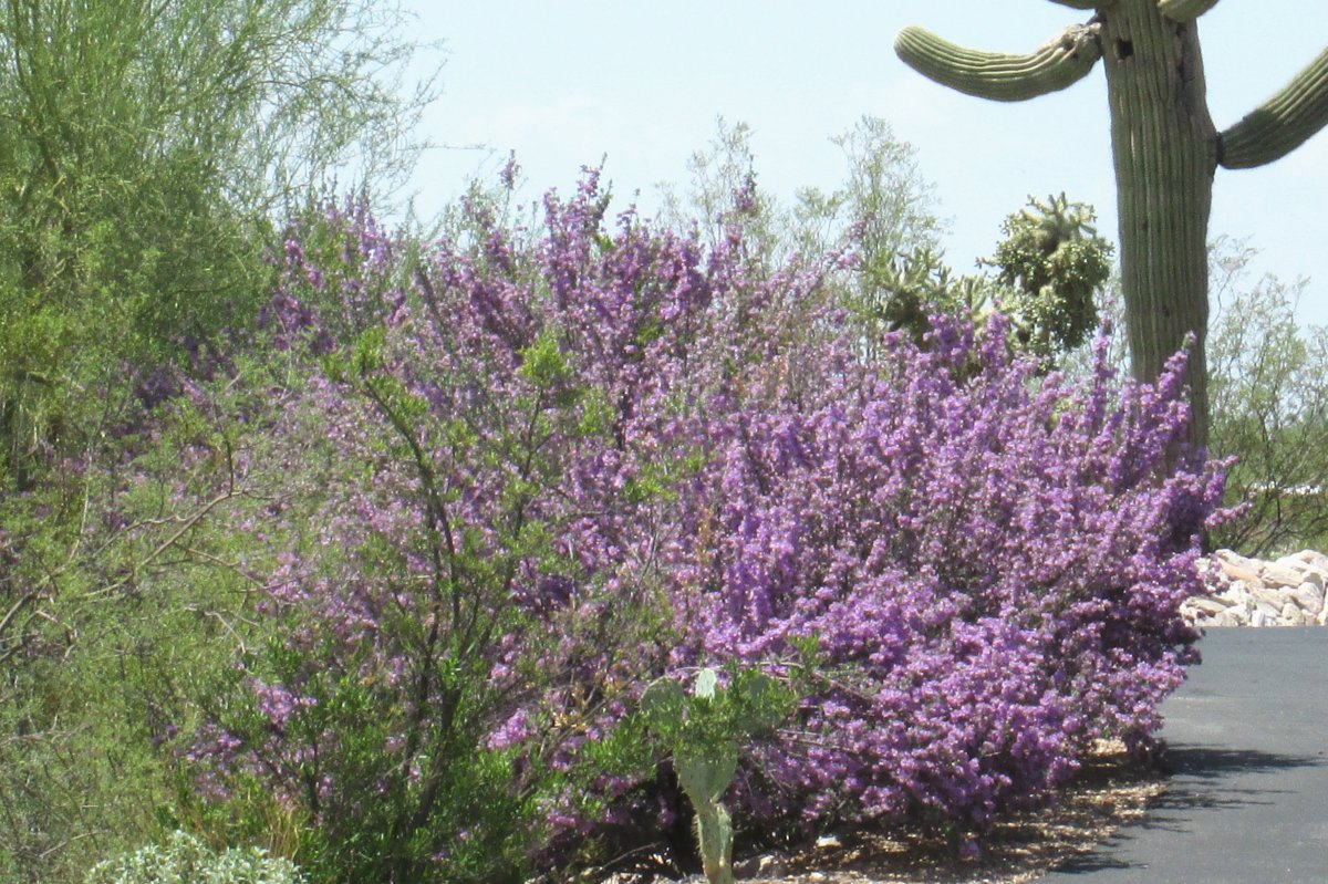 Our Desert is cascading with purple flowering bushes