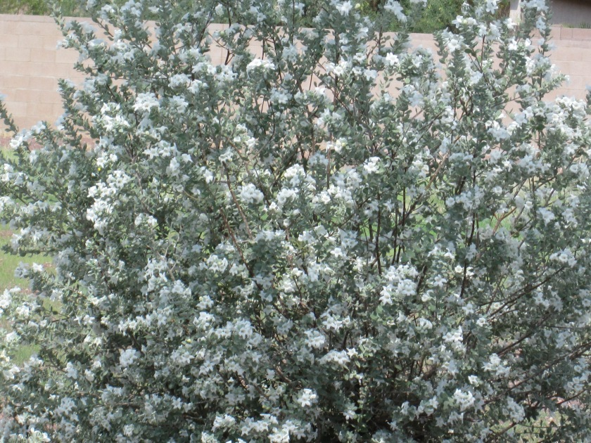 Purple flowering bush in az tjs garden for White flowering bush