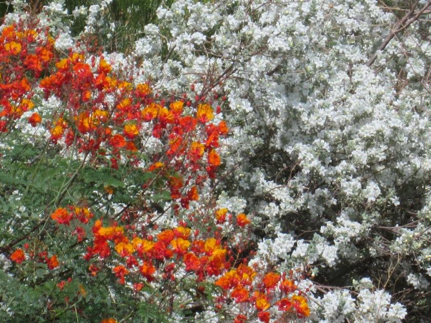Texas Cloud Sage with white flowers bush