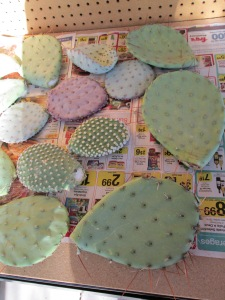 grow your own cactus plants prickly pear