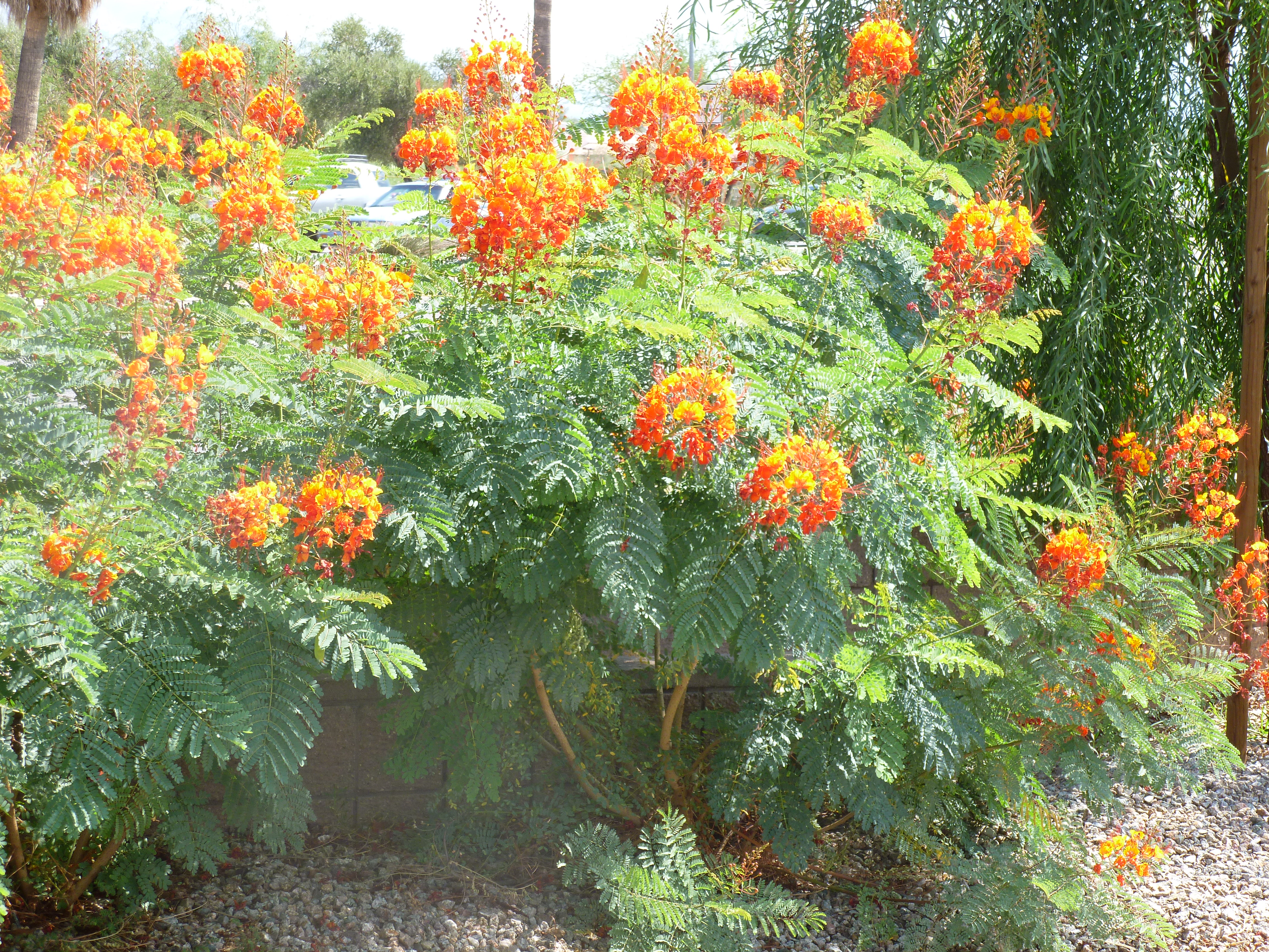 Mexican yellow red bird of paradise plants are poisonous tjs garden desert plant with fern like leaves is red bird of paradise mightylinksfo