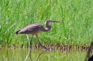 Ardea herodias, largest of North American herons
