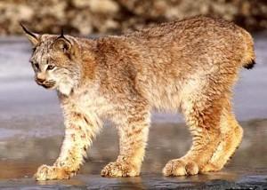 Canada bobcat