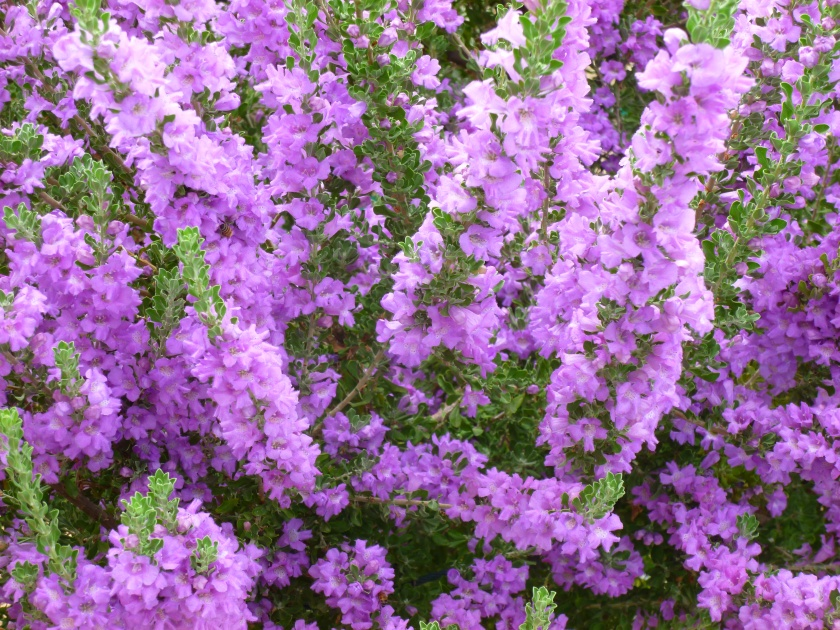 phoenix purple flowering shrubs bush