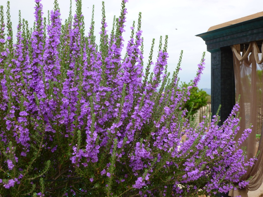 varieties of sage bush shrubs purple white