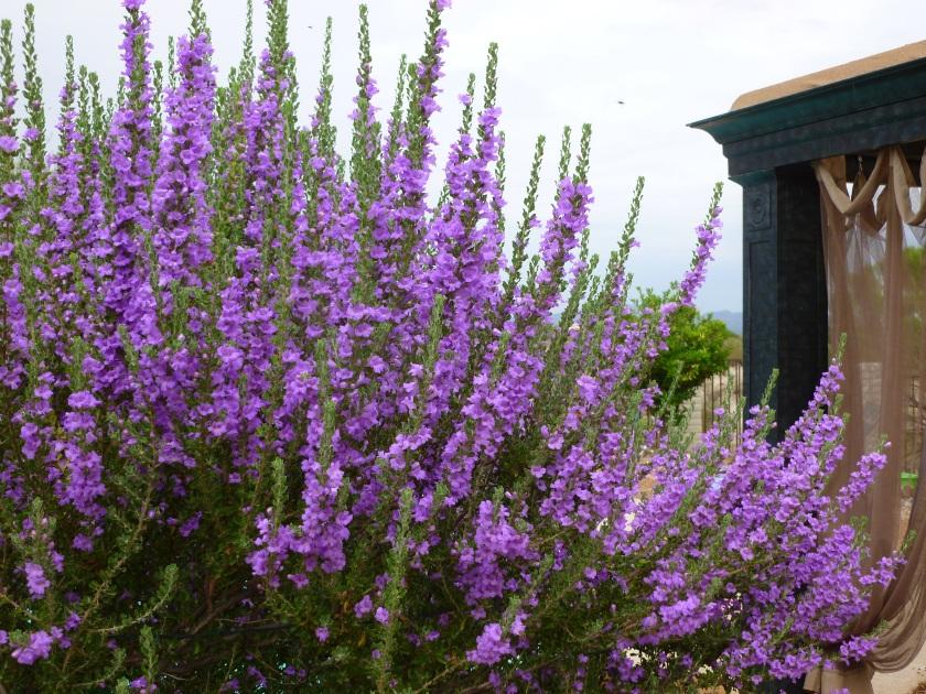 varieties of sage bush shrubs purple white