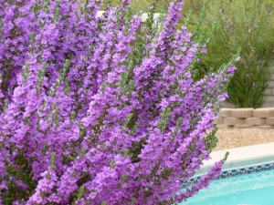 Mexico purple sage flower bush