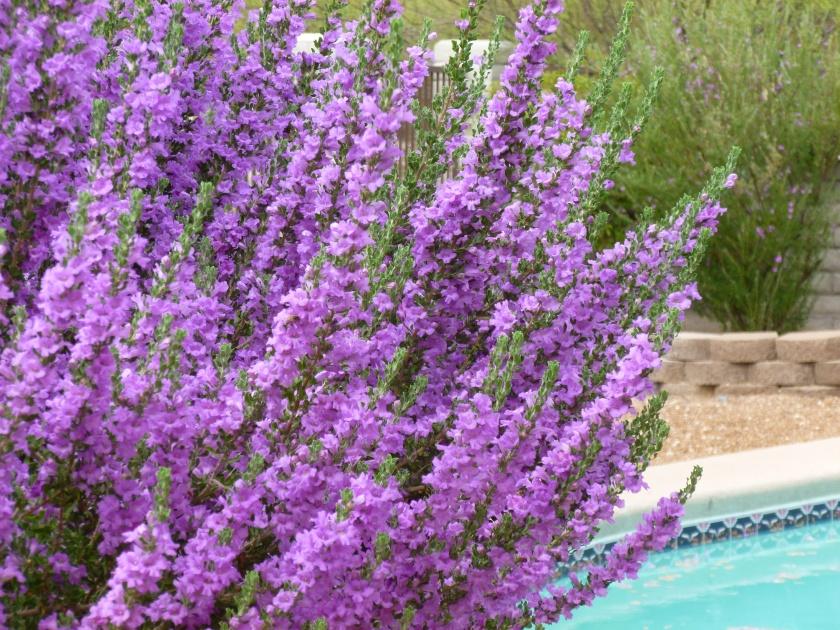 Mexico purple sage flower bush