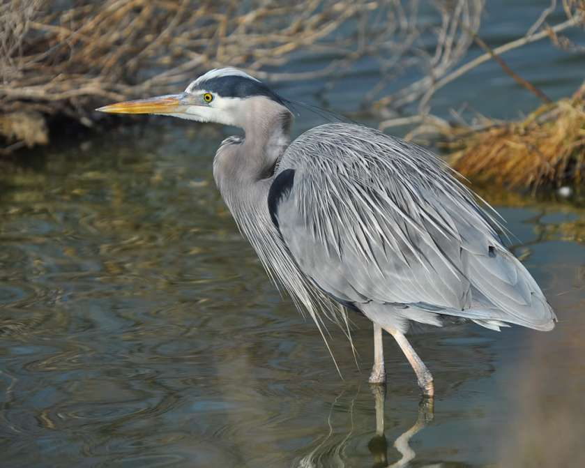 AZ tall Wading birds with blue gray feathers