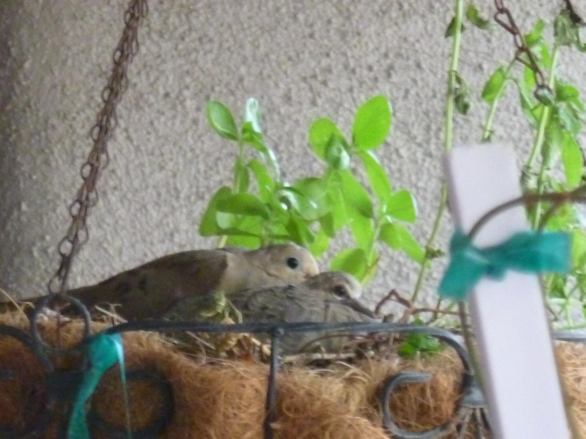 Birdlife: Coos dan pistas sobre el comportamiento de la paloma
