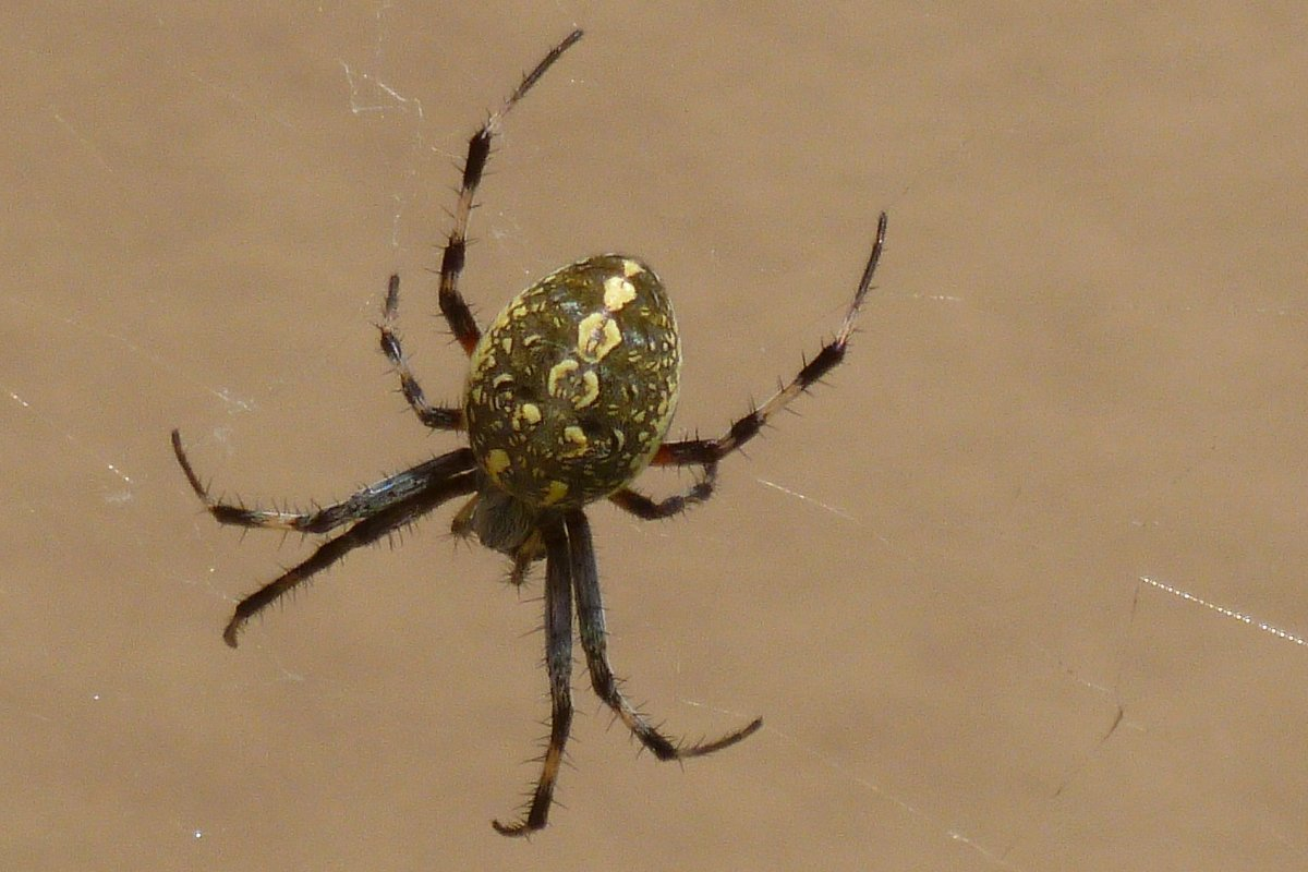 SPIDER identified in my garden – black, gray, large abdomen, 4-6 white spots on belly