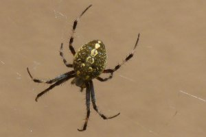 common striped spiders orb weaver