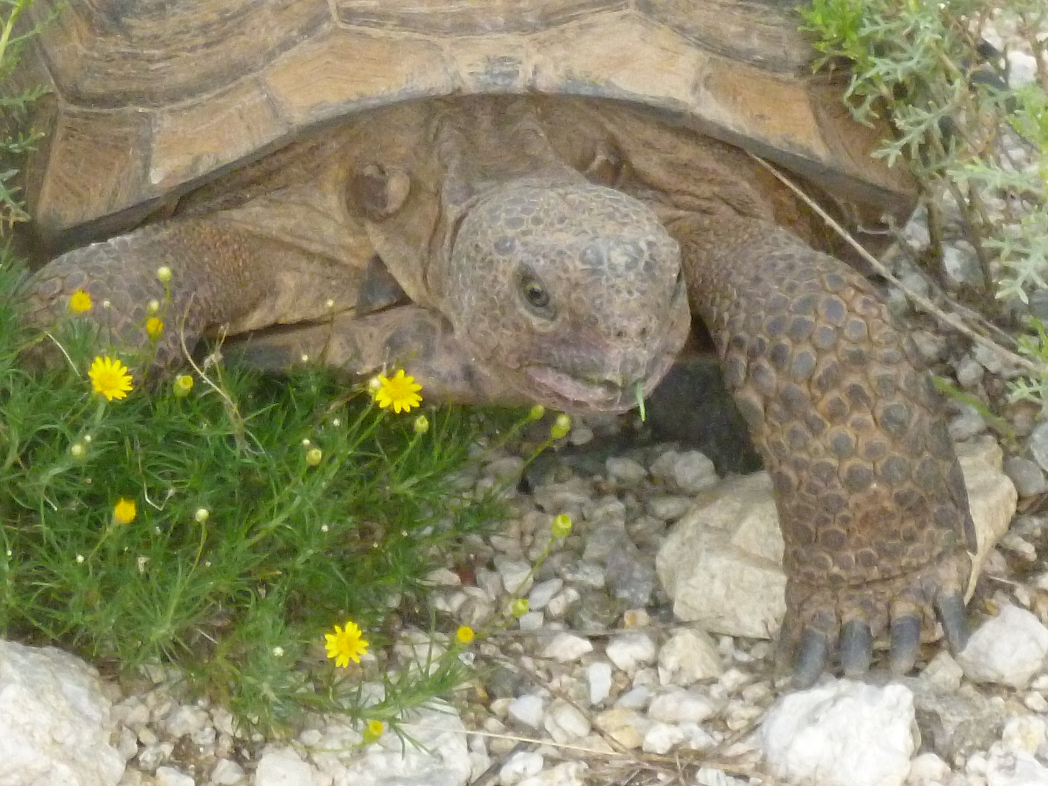 characteristics of the desert tortoise The morphological characteristics of concerning the morphology of the liver of the desert tortoise testudo graeca, the results of the present workhave.