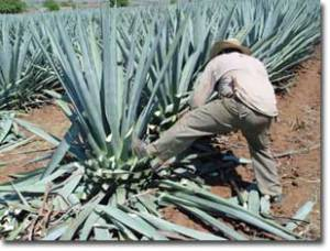 tequila blue agave plant