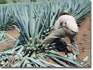 Blue Weber Agave is used to make the besttequila!