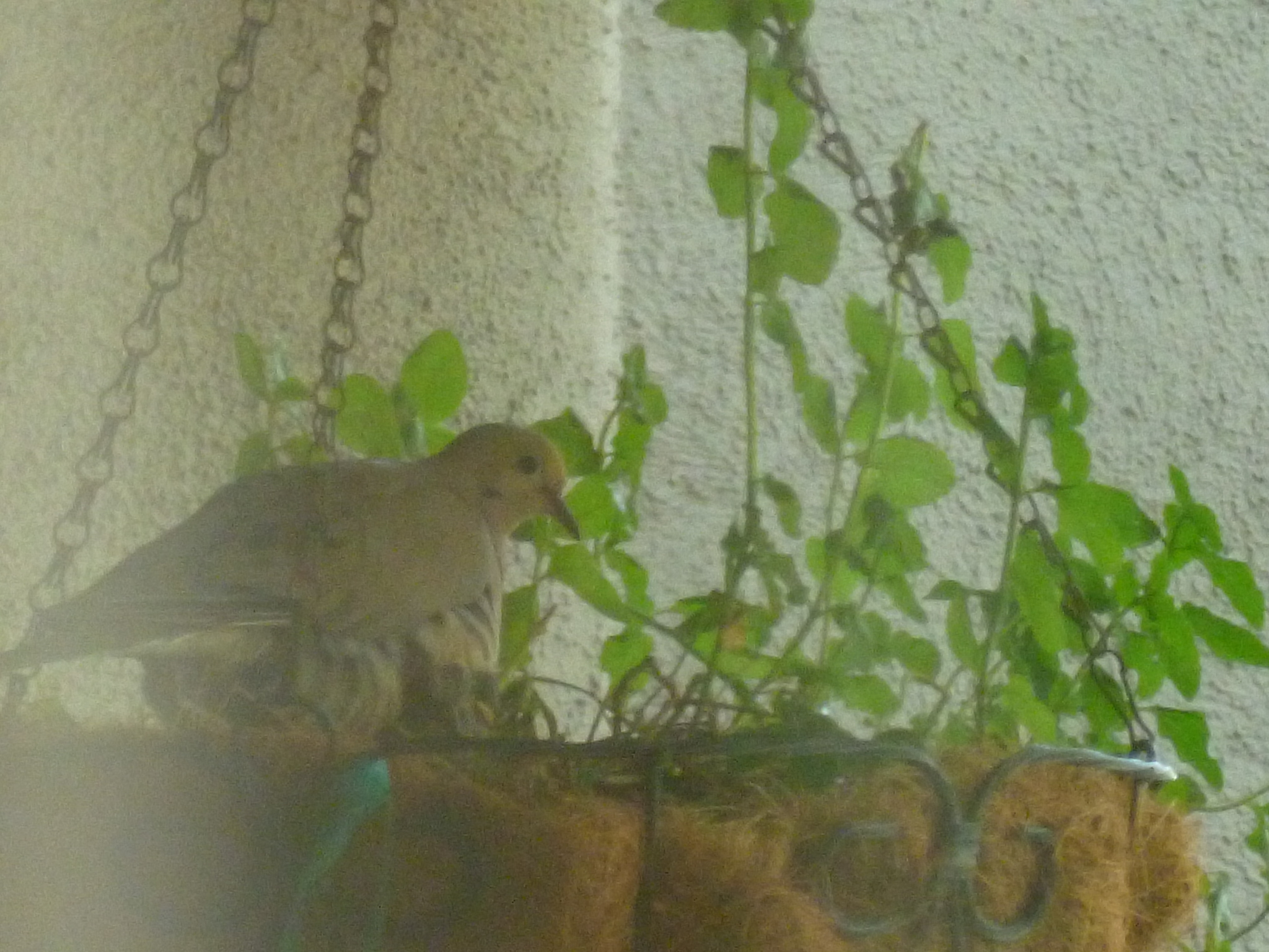 mourning dove feeding babies. daddy dove taking the day shift in the nest