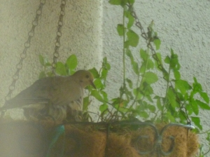 mourning dove feeding babies