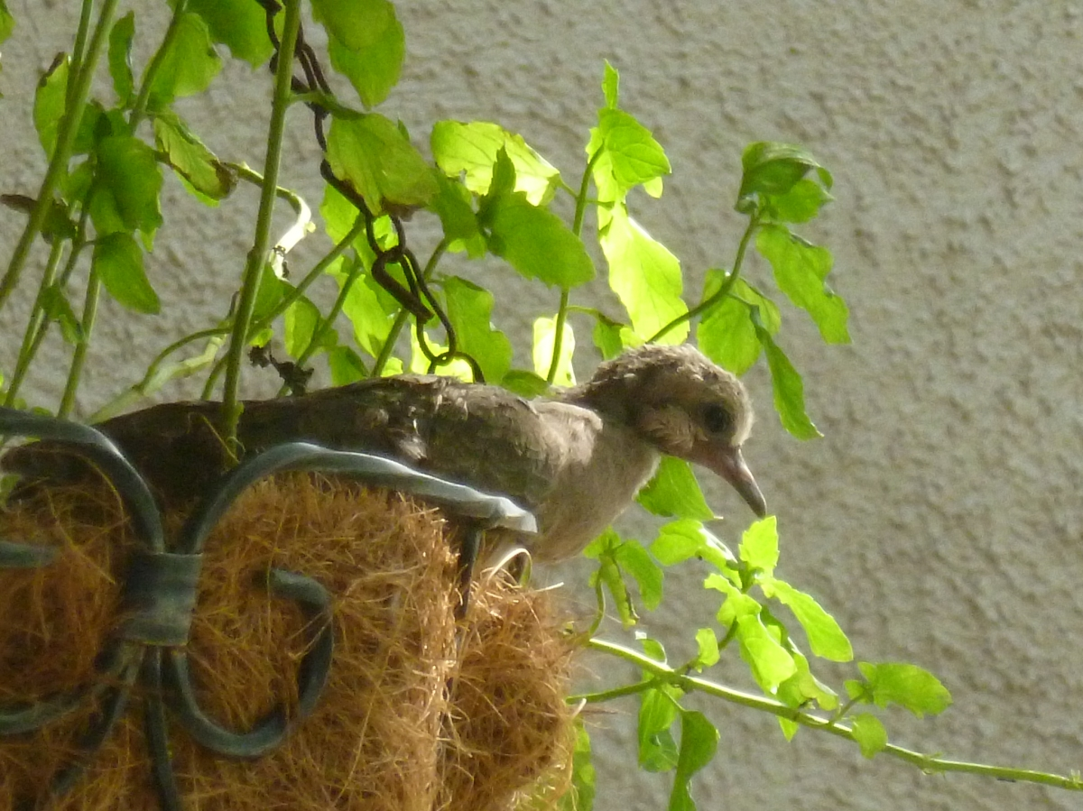 11 day old mourning dove in the nest
