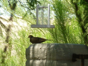 mom mourning dove