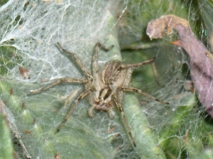 brown grey spider in a tunnel web