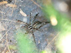 fennelweb spider
