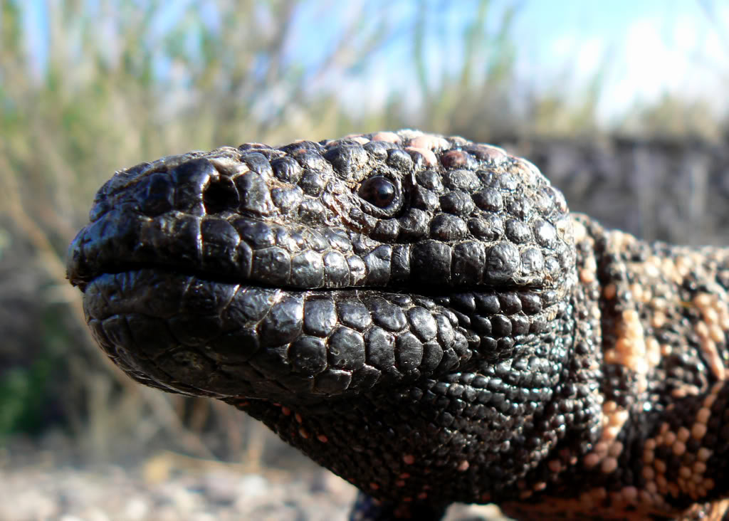Encountering a gila monster the gila monster s close relative is