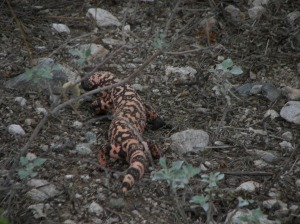 arizona slow lizard gila monster