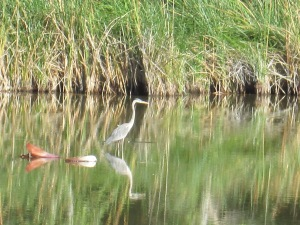 wading birds in Tucson