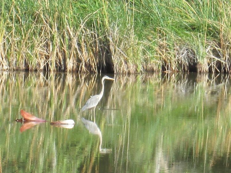 tall wading birds in Arizona Desert