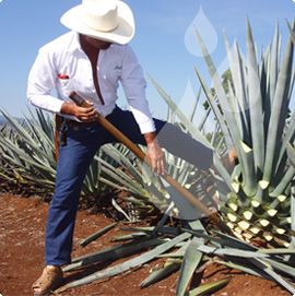 agave for tequila