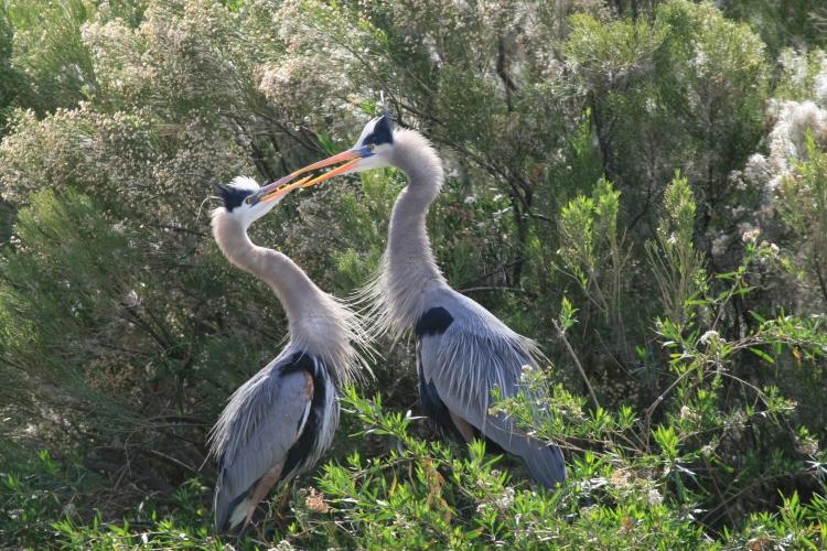 pair of heron birds  in Arizona