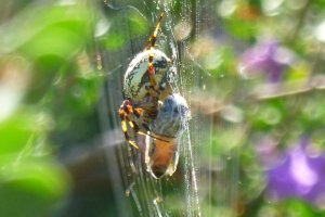 spider with large abdomen and round web