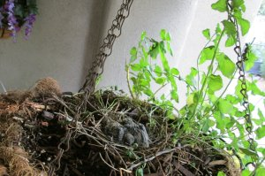 baby morning dove nest