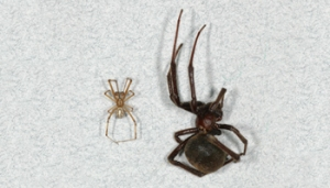 female widow spider is larger