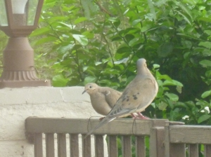 girl and boy adult mourning dove