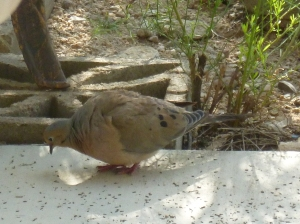adult male mourning dove