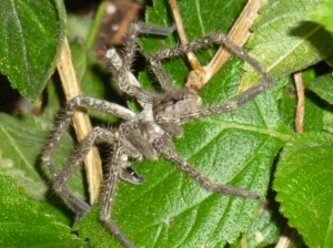palp of a male wolf spider