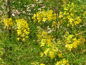 yellow flowering small tree with round leaves