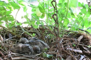mourning dove hatchlings turtle dove nest