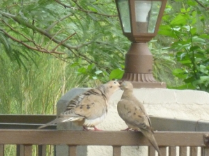 male and female morning doves