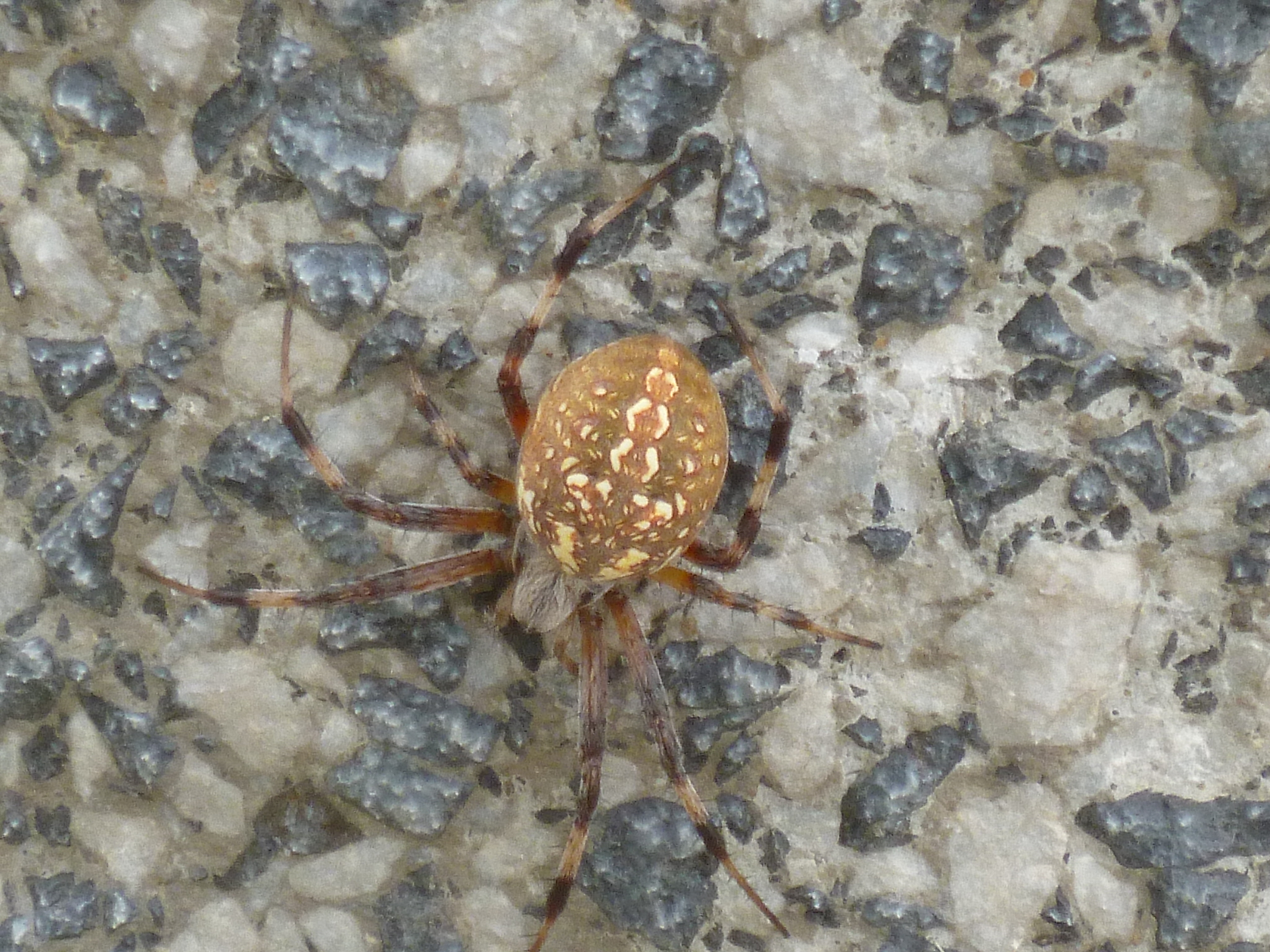 Brown Spider With Yellow And Black Striped Legs Brown Spider With Striped Legs