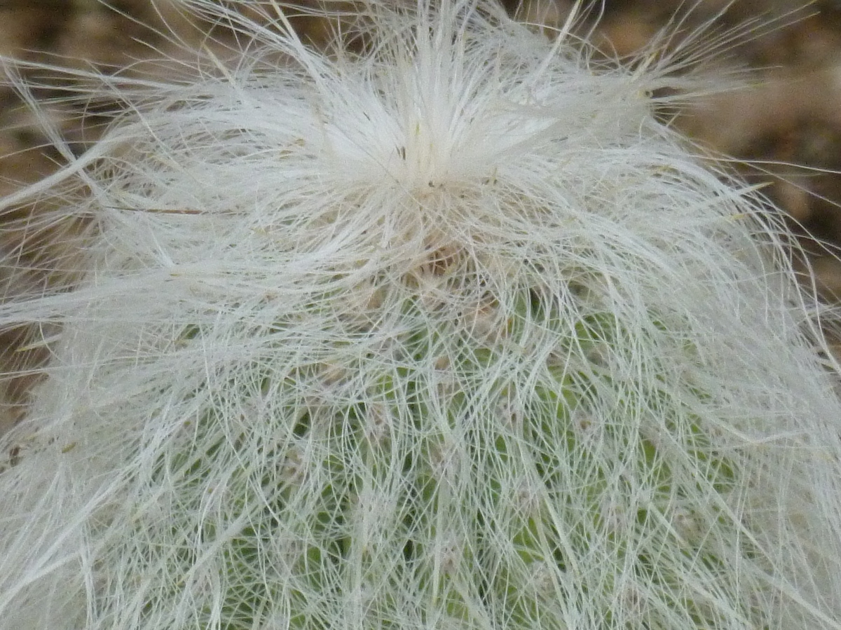 Old Man hairy Cactus - a cactus with white hair