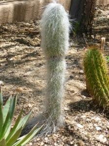 cephalocereus senilis hairy cactus
