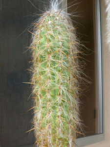 white hairy cactus