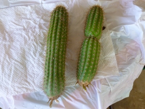 growing cactus cuttings