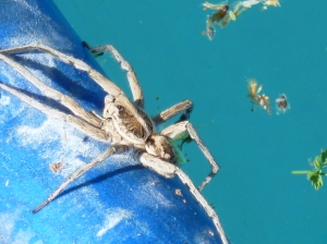 hairy spiders Arizona