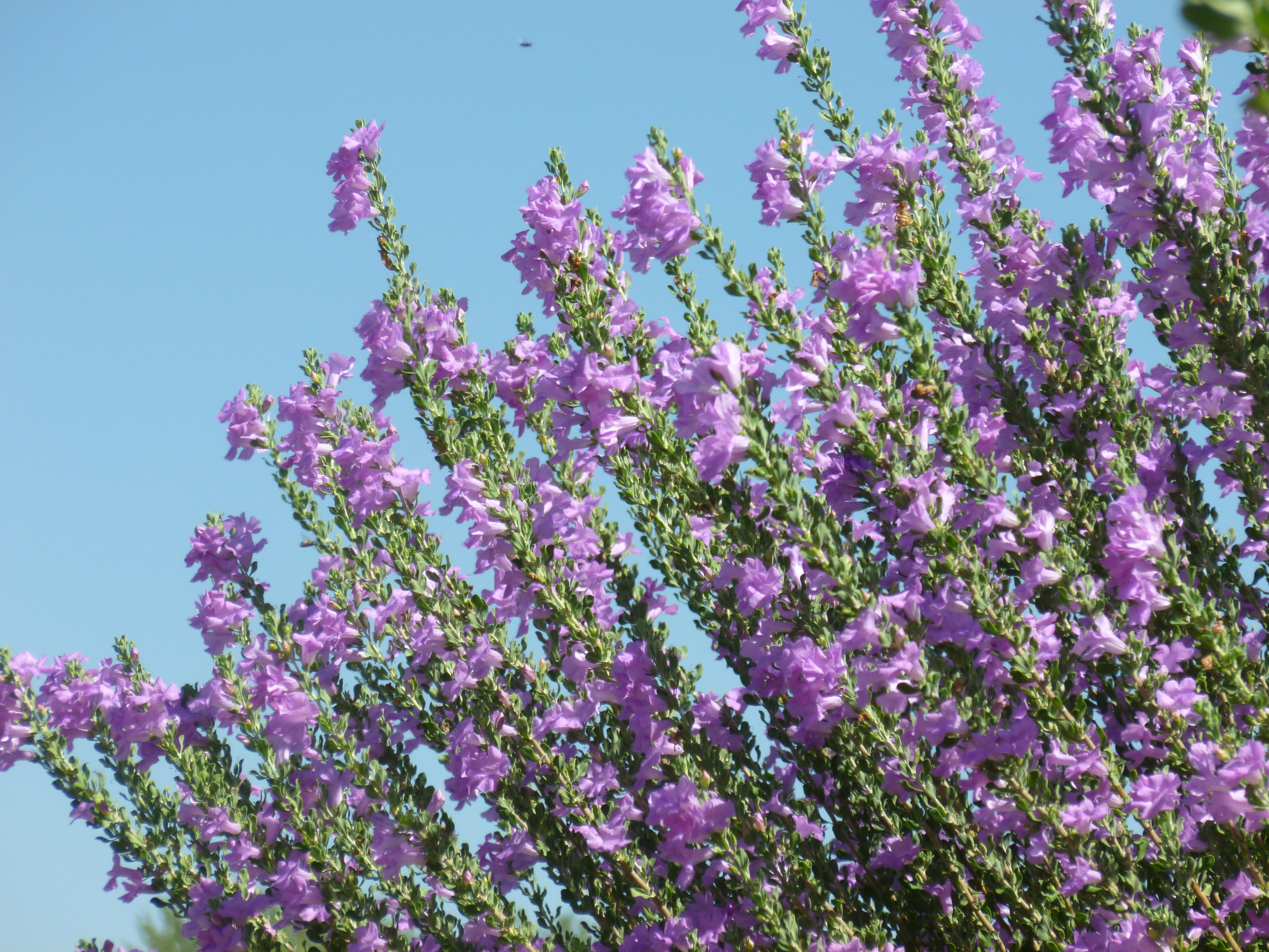 Purple Flowers Bushes Tucson Tjs Garden